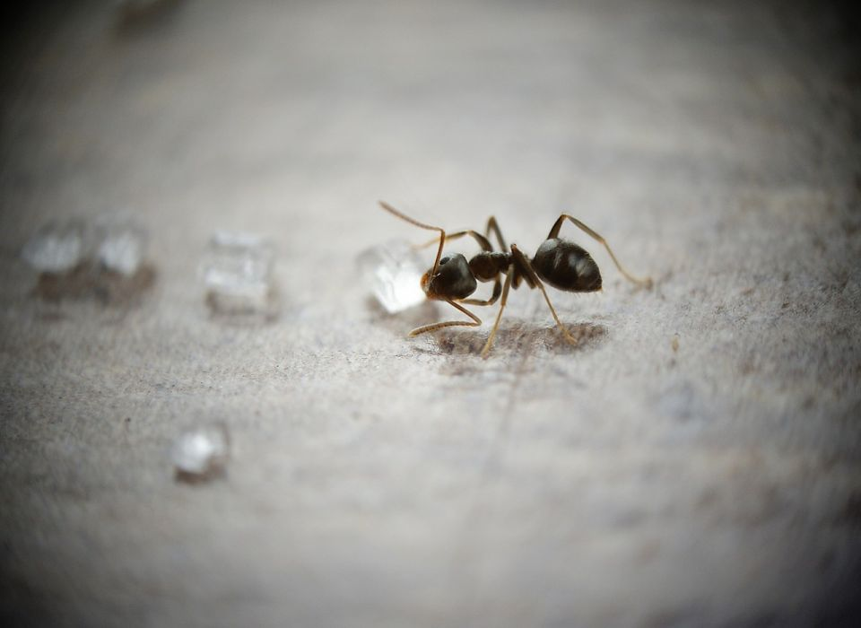 5 natural and non toxic ways to get rid of ants. Black Bedroom Furniture Sets. Home Design Ideas