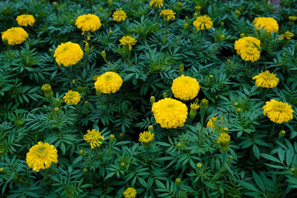 yellow marigold garden 1